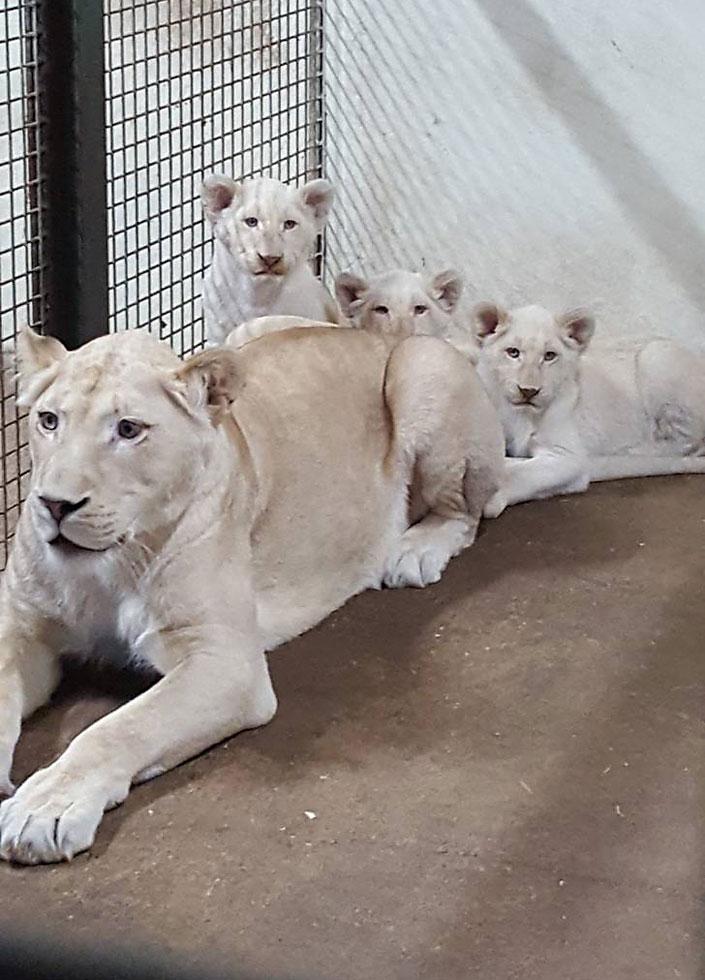 Die Löwenbabys Merlin, Frodo und Gimli im Serengetipark Hodenhagen