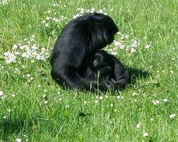 Schimpanse Pitti im Serengetipark Hodenhagen