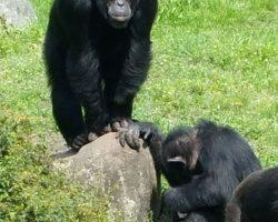 Schimpansen im Serengetipark Hodenhagen