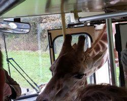 Giraffe Claudia schaut mal nach dem Rechten